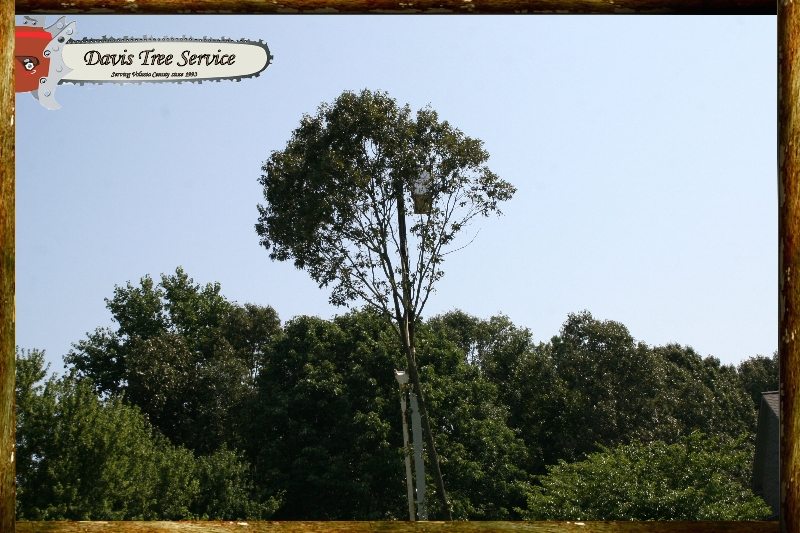 davis-tree-tn-077-wood